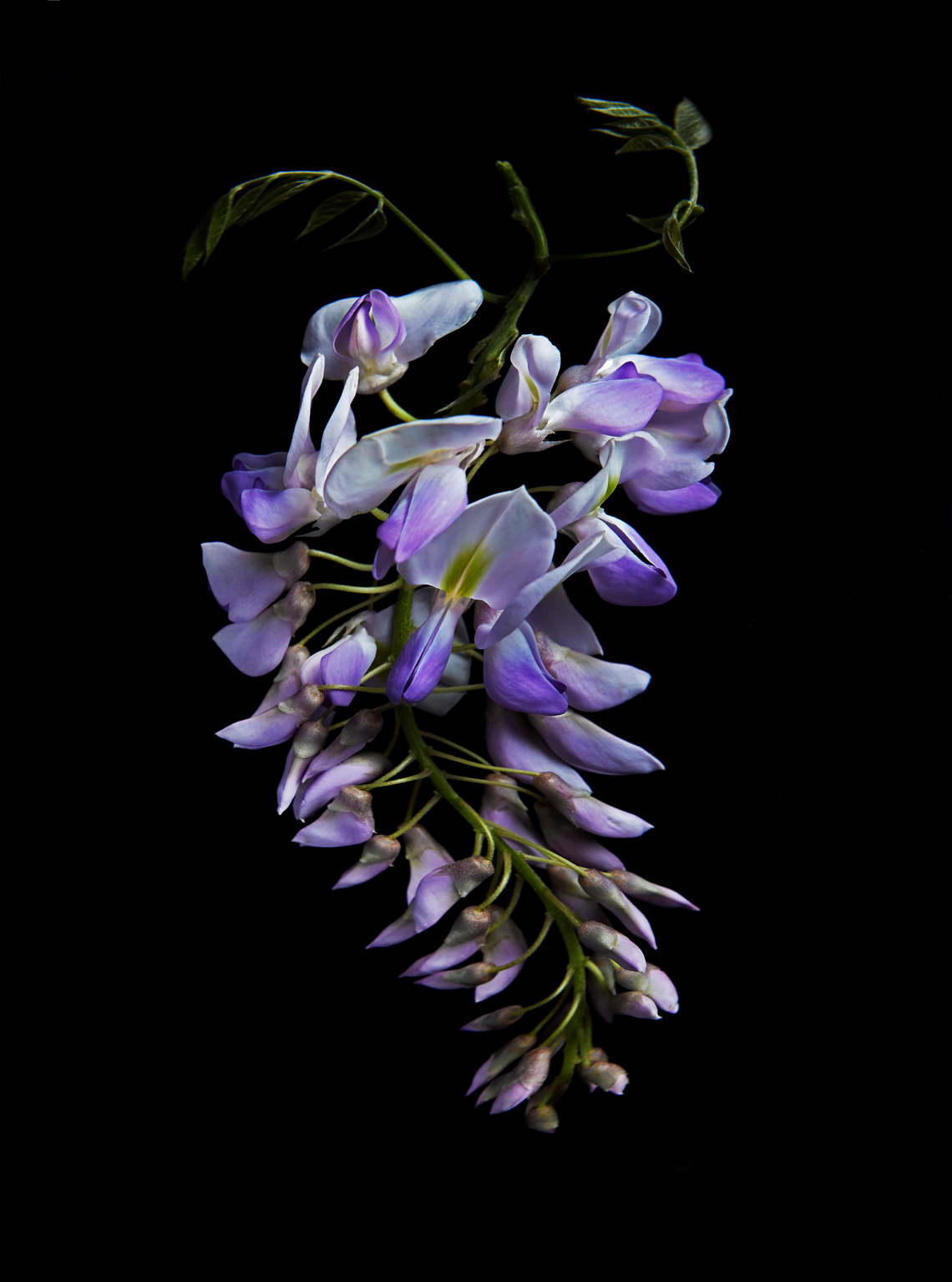 Wisteria-Bloom-web